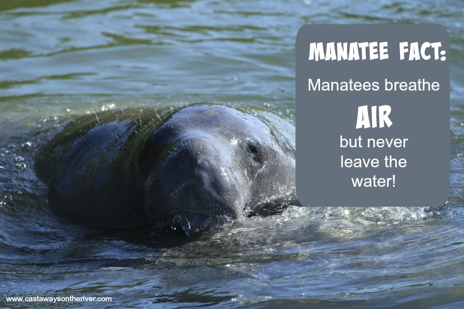 Manatee breathe