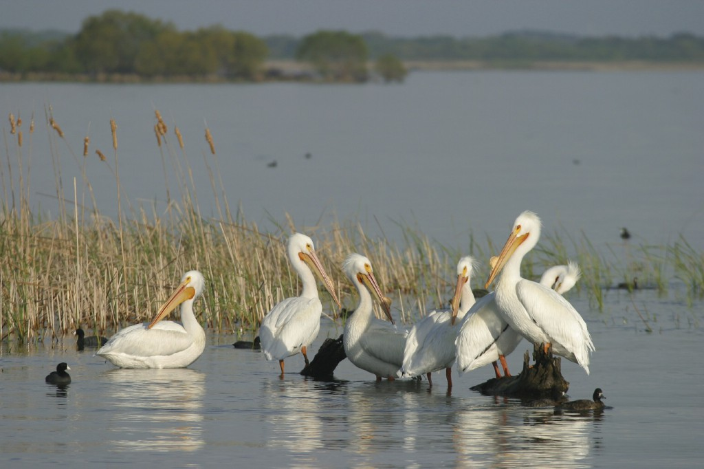 white pelicans on the river