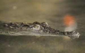 alligator swimming in the river