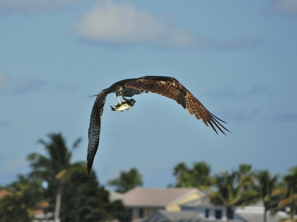 osprey holding a fish