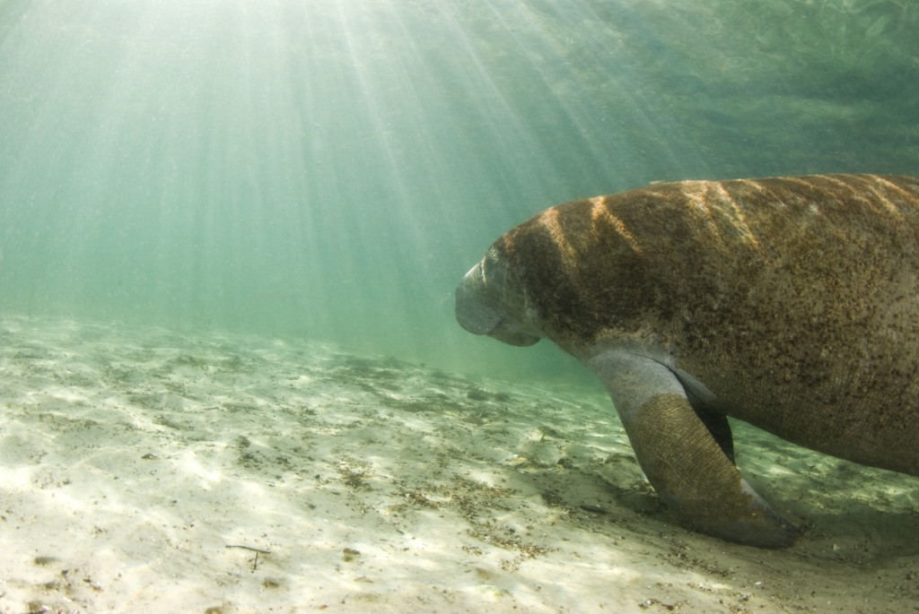 manatee swimming in a freshwater spring