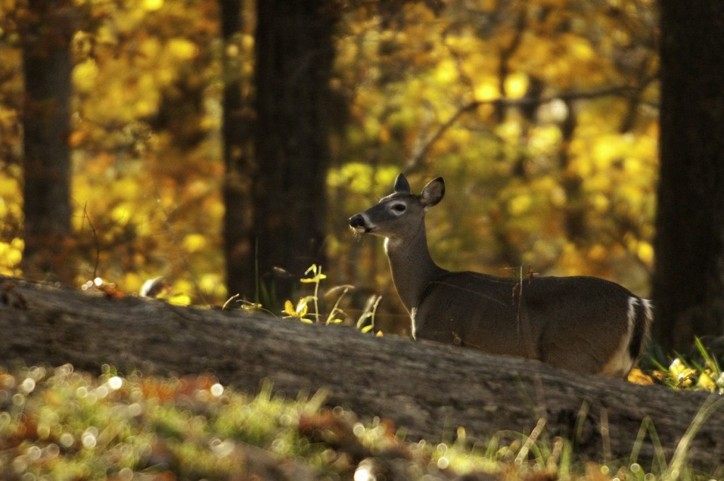 Ocala National Forest Hunting Season Guide deer photo