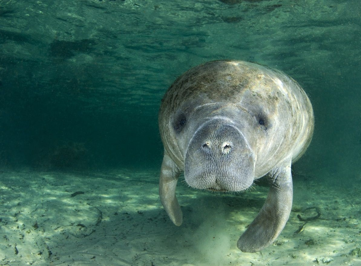 how to spot manatees